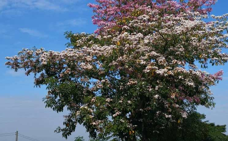 Malaysian sakura tree along Jalan Penampang by-pass
