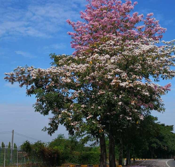 Malaysian sakura tree along Jalan Penampang by-pass