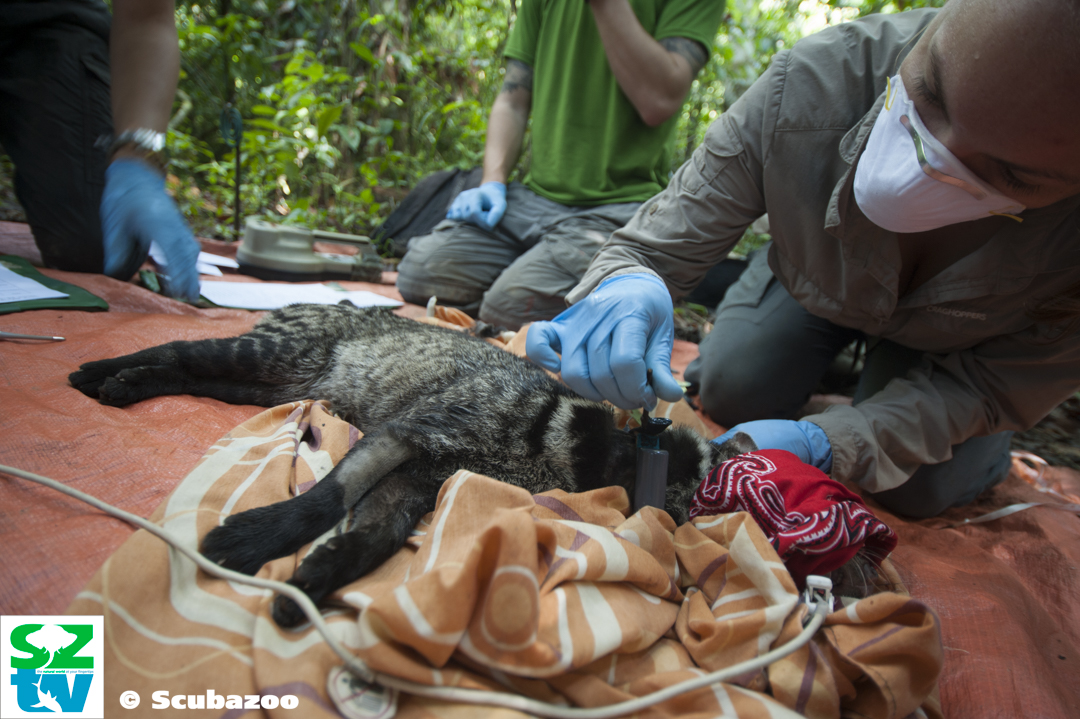 Dr Meaghan Evans setting up a satellite collar on a Malay civet [Photograph credit: Scubazoo]