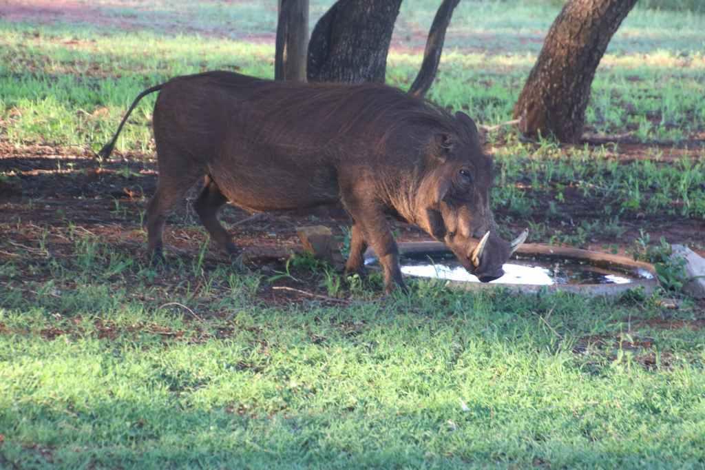 African Swine Fever has spread to eight districts- Pitas, Kota Marudu, Beluran, Telupid, Kinabatangan, Sandakan, Lahad Datu and Tawau in Sabah .