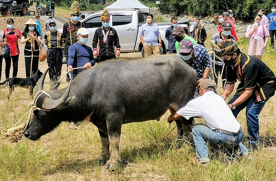 . Villagers capturing a buffalo for slaughter in conjunction with the state-level Kaamatan Festival as a symbol of 'pibabasan' (peace) at Kampung Libodon in Kiulu, on Tuesday