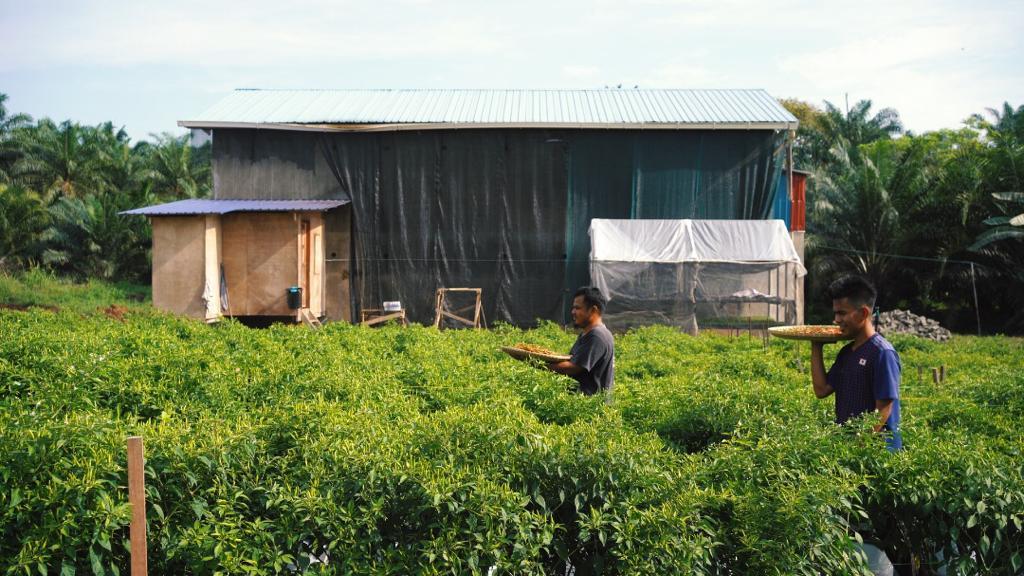 Kunak traditional Chilies farmer